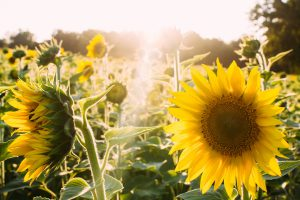 sunflowers-945407_1920