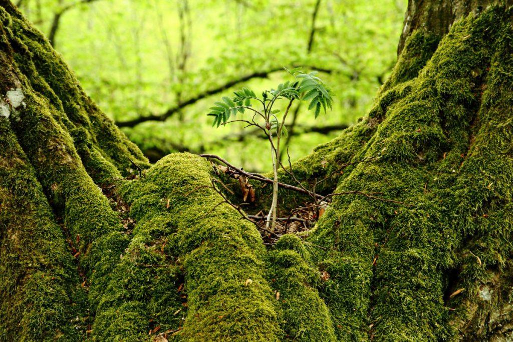 mateřské stromy v lese